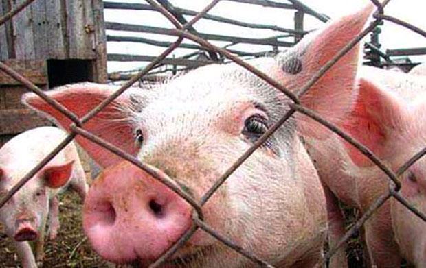 Чума свиней возвращается
