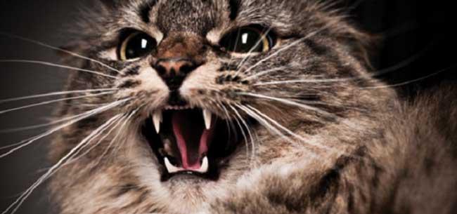 Домашняя кошка заболела бешенством