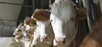 В Коврове обнаружен вирус лейкоза крупного рогатого скота